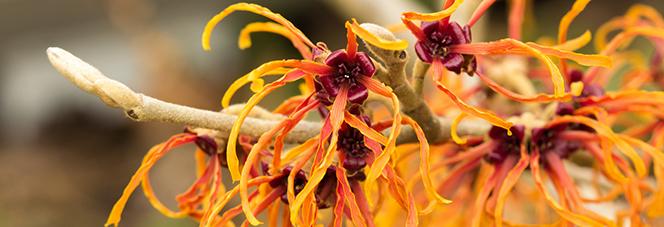 Orangefarbene Haselnussstrauchblüte