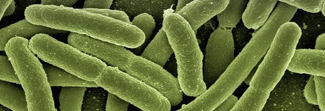 Echerichia coli Bakterien